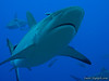 Gray Whaler Shark, Osprey's Reef, Coral Sea