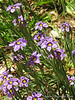 Sisyrinchium bellum, Blue-Eyed-Grass (thanks, Greg, cdandherm, B-Squared!