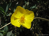 Dendromecon rigida, Bush Poppy