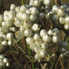 Pearly Everlasting?